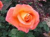 Přehled růží