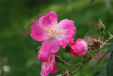 Rosa chinensis semperflorens