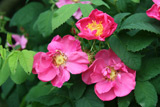 Rosa gallica f. officinalis