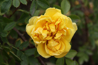Rosa spinosissima Double Yellow