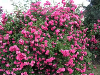 Růže keř
